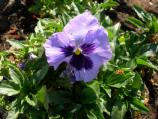 Common name: Pansy, Viola, Violet Origin: A cultivated plant from wild Violas of deciduous forests. Uses: A cheery annual for winter and spring in mild areas, used along edges of paths. The markings on the flower resemble faces. The flowers are edible and the seeds are liked by sparrows.