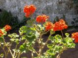 Common name: Geranium, Orange Ricard Origin: South Africa Uses: Plant in well drained soil where days are warm and nights are cool for year round flowering. Also does well as potted plants. Cuttings for these plants were taken from the parade ground.
