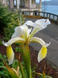 Common name: Iris Uses: Likes well drained soil, blooms for several weeks in early summer. Some have become naturalized. Need little water through the summer. On Alcatraz, these Iris survive on the west side, in front of the water tower and the lower water tower former gardens.