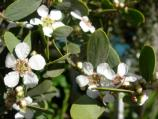 Common name: Australian tea tree Origin: Australia Uses: An evergreen small tree with fine foliage and dense branches. Tolerates most soils and coastal conditions. A recent tree survey determined the trees planted at the entrance to the Sallyport, to be an estimated 80 years old.