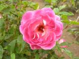Common name: Rose Origin: Introduced by Weatherly in 2000. Uses: A sport of the famous 'Iceberg' rose. The petals are a blend of deep pink and cream. Reliable bloomer, disease resistance and attractive bushy habit with almost thornless stems.