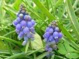 Common name: Grape hyacinth Origin: Eurasia Uses: A perennial bulb that blooms in late winter/early spring. They can multiple to form clumps and can be used to edge borders or to naturalize in lawns.