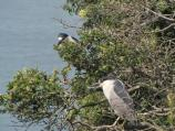 Black-crowned night heron tree colony