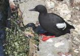 Pigeon guillemot on seawall