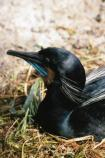 Brandt's cormorant displays blue throat patch for mating season