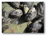 California Mussels (Mytilus californianus)