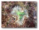 Solitary Anemone (Anthopleura sola)