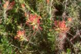 Bright with its reddish-orange flowers, Indian paintbrush usually blooms from February through May.