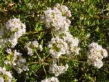 Another bee favorite, California Buckwheat blooms from April through October.