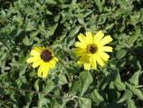 Althrough cheery to look at, the California Encelia has a rough feel and strong odor.