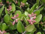With its pink buds even in winter, Lemonadeberry is a good choice as an ornamental plant.