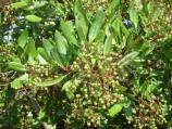 Sweetly spicy, the Toyon's clusters of bright red berries were used by the early California Spanish to make a tea.