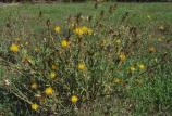 Yellow star thistle is problematic because it seeds prolifically and sticks to people and equipment easily, making it difficult to control its spread.
