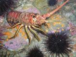 This species of spiny lobster is often encountered in rocky dens or in beds of surfgrass at relatively shallow depths. As highly prized targets for fishermen and divers, most California spiny lobsters do not live longer than 5-7 years before being caught. They have been known to achieve lengths of over 3 feet long and weighing 16 pounds.