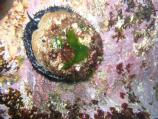Abalone feed on algae, and the red or coral color of the outer surface of a red abalone shell results from consumption of red algae.