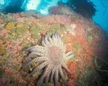 One of nearly 1000 kelp forest species, sunflower stars are the largest, heaviest, and most active of all the Pacific coast stars.
