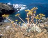 The steep, rocky, cactus-covered cliffs have provided safe habitat for the endemic Santa Barbara Island live-forever, one of several plants unique to the island.