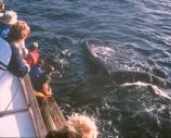 Visitors encountering the endangered humpback whales.