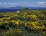 The bright yellow bouquets of the giant coreopsis are so vivid they can sometimes be seen from the mainland.
