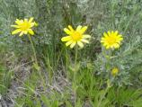 Arnica sororia (Sunflower Family)