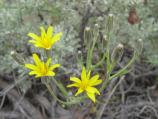 Crepis acuminate (Sunflower Family)