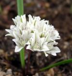 Allium brandegei (Lily Family)