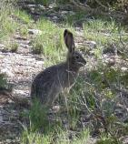 Blacktail Jackrabbit - lepus calfornicus