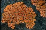 Xanthoria lichens may be found during the park's upcoming bioblitz.