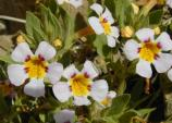 Rock Mimulus (Mimulus rupicola) are an endemic species only found in the Death Valley region.