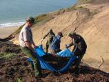 Staff remove invasive plants such as Cape ivy and iceplant along the excavation edge