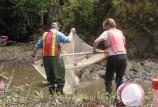Moving of salmonids from Redwood Creek to install erosion control.