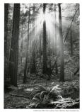 Light filtering through the trees at Muir Woods, 1978.