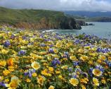 Views of wildlfower blooms on the Mori Point headlands