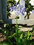 Lily of the Nile [Agapanthus praecox orientalis]