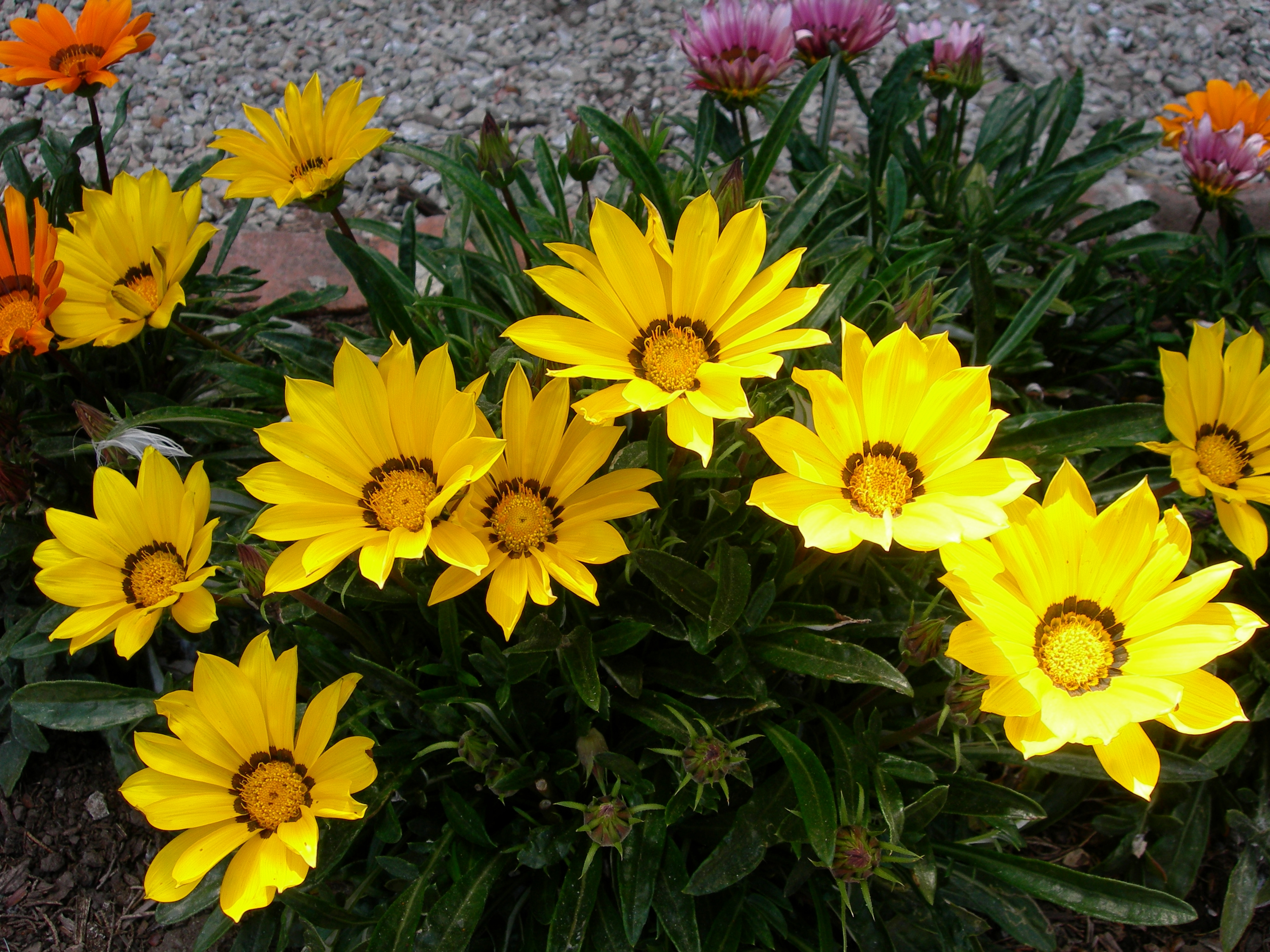 Names Of Yellow Flowers With Pictures Arnica U This Native Flower