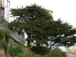 Common name: Monterey Cypress Scientific name:Cupressus macrocarpa Origin: Central coast of California Uses: A medium sized, evergreen tree that becomes shaped by strong winds. The foliage is dense, bright green in color and produces seed cones with a greenish-grey hue. On Alcatraz, the trees were planted by the military, the oldest tree is estimated to be 100 years old.