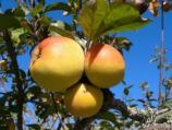 Apple [Malus species]