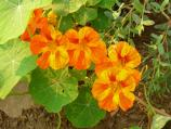 Common name: Nasturtium Scientific name: Tropaeolum majus Origin: South America Uses: An annual that can trail or climb. Very easy to grow and it self-seeds. A wide range of colors available. On Alcatraz, the colors are orange or yellow. Young leaves, flowers and unripe seeds are edible. In 1924, the California Spring Blossom and Wild Flower Association contributed seeds in an attempt to beautify the Island after the Army succumbed to internal and public disapproval of the Island's appearance.