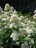 Common name: Jupiter's Beard, Valerian Scientific name: Centranthus ruber 'Alba' Origin: Southern Europe Uses: A drought resistant perennial that will attract bees and butterflies. Has potential to naturalize. Was located on Alcatraz and has been propagated to add to new garden plantings.