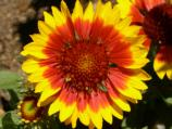 Common name: Blanket Flower Scientific name: Gaillardia x grandiflora Origin: Central and western U.S. Uses: Blooms from early summer to first frost, these add bright colors to borders. Needs well drained soil, makes excellent cut flowers.