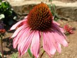 Purple Coneflower [Echinacea purpurea 'Magnus']