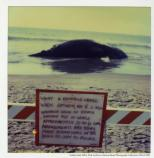 Beached dead Humpback whale with sign on Stinson Beach, c. 1980