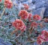 Buckwheat offers beautiful pastel mix of colors.