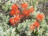 Desert Paintbrush not only lights up the sagebrush, but also well into the Pinyon-Juniper woodlands throughout the Great Basin.