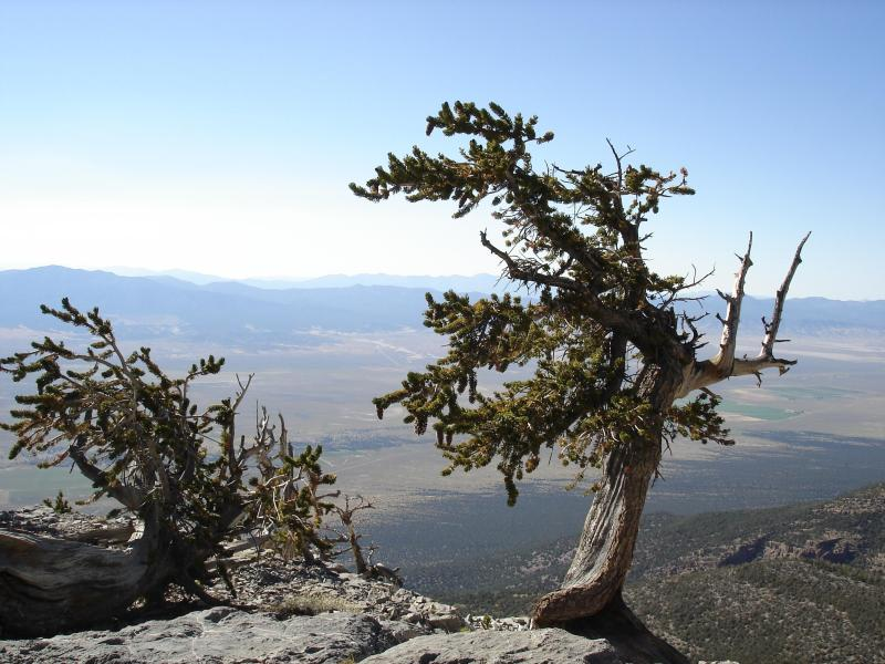 Bristlecone pines are shaped by the elements sun wind and sky