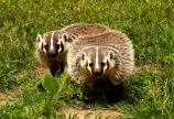badgers, wildlife,mammals