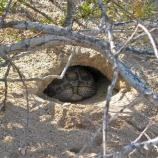 Tortoises spend up to 95% of their lives in burrows.