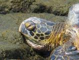 Honu (Green Sea Turtle) resting