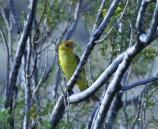 Western Tanager in Creosote bush