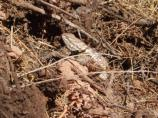 Desert Spiny Lizard in Lake Mead